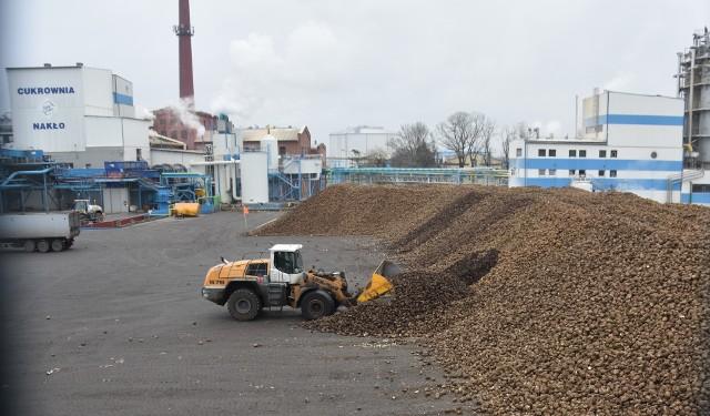Jeszcze w grudniu, w nakielskiej cukrowni (na zdjęciu), buraki przerabiano pełną parą. W Nakle (od 8 września) skupiono 832 000 ton buraków, uzyskano ok. 110 000 ton cukru