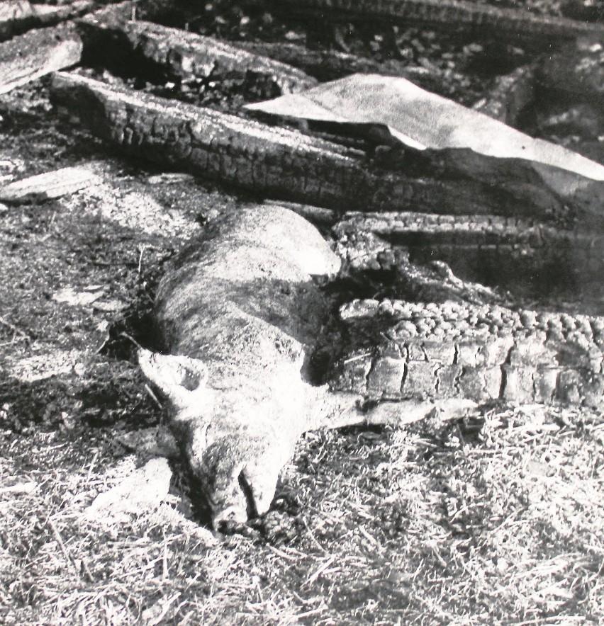 """Operacja """"Trzoda"""" z 1987 r. Spłonęło 340 sztuk trzody..."""