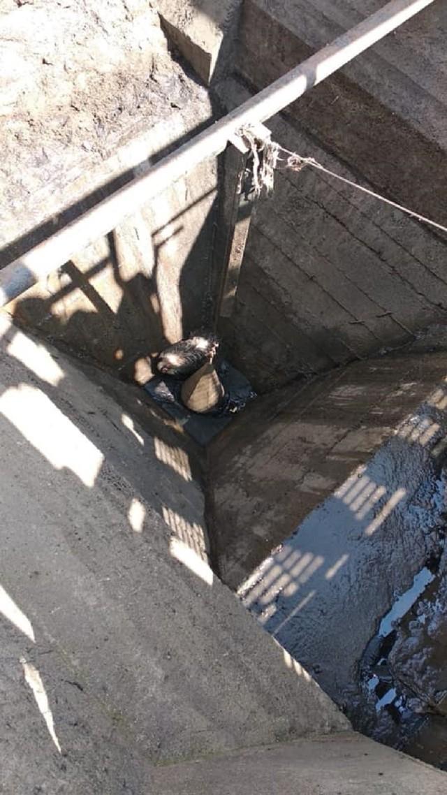 Borsuk wpadł do kanału oczyszczalni ścieków w Katowicach