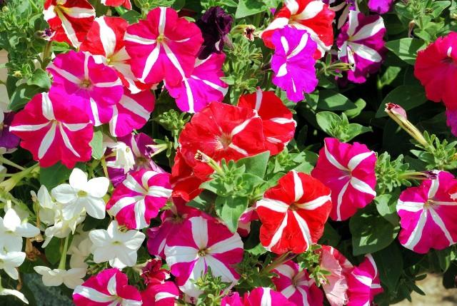Petunie na balkonieWśród najpiękniejszych roślin na naszych balkonowych czołowe miejsce zajmują petunie.