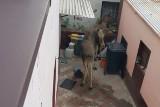 Łosie w Radzionkowie. Dziewięć zwierząt zauważyli mieszkańcy. Niestety trzy nie przeżyły wizyty w mieście