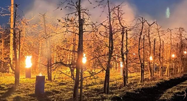 Tak pod koniec kwietnia dogrzewano sady czereśniowe w Szczutkach koło Bydgoszczy. Między drzewami ustawiono piecyki sadownicze