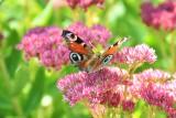 TOP 12 roślin do ogrodu, których nie trzeba podlewać. Polecamy kwiaty, które znoszą suszę