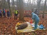 W Wielkopolsce odstrzelono od grudnia 35 tys. dzików. Wojewoda podpisał rozporządzenie o odstrzale kolejnych