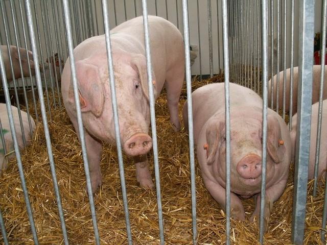 Tuczniki trafią do rzeźni, więc zakłady mięsne nie będą musiały importować surowca