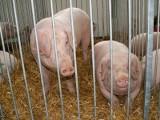 Zdrowe świnie mogą jechać do rzeźni bez świadectw!