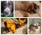 Psiaki - słodziaki! To najpiękniejsze psy na świecie. Mieszkają z Wami!