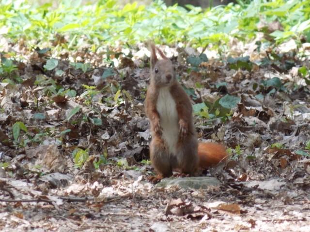 Ruda z gorzowskiego parku Kopernika 1 maja pozwoliła uważnym spacerowiczom popatrzeć, jak je śniadanie