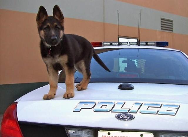 Psy policyjne też kiedyś były po raz pierwszy w pracy [ZDJĘCIA]