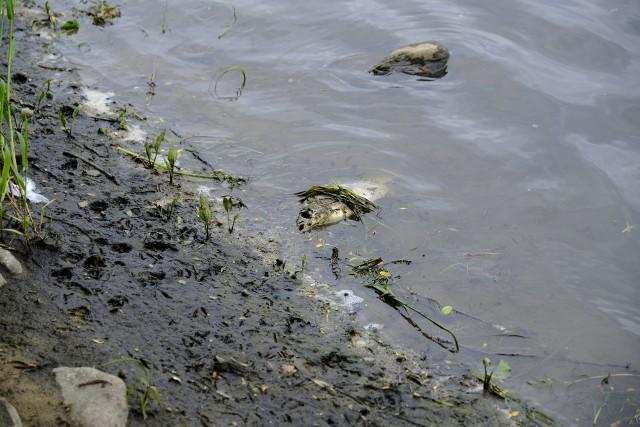 """Zdechłe ryby w różnych fazach rozkładu wyrzucone na brzeg, bądź unoszące się w mocno zanieczyszczonej wodzie - takie widoki ukazały się oczom tych, którzy w czwartek wybrali się nad brzeg Wisły w Toruniu.Zobacz także:W Toruniu powstaną kolejne tężnie. Wiemy gdzieBędą nowe autobusy i tramwaje w ToruniuPoziom wody w rzece jest bardzo niski, w tej sytuacji jest ona brudniejsza niż zazwyczaj, jednak zdechłe ryby mogą budzić niepokój. Poinformowaliśmy zatem o tym Regionalny Wydział Monitoringu Środowiska w Bydgoszczy, który zajmuje się badaniem wody w rzece.  <center><div class=""""fb-like-box"""" data-href=""""https://www.facebook.com/NowosciTorun"""" data-width=""""600"""" data-show-faces=""""true"""" data-stream=""""false"""" data-header=""""true""""></div></center>"""