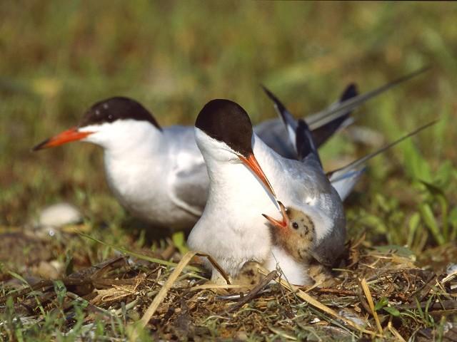 Dolina Górnej Wisły to jedna z najważniejszych w kraju ostoi lęgowych wielu gatunków ptaków. Swoje gniazda zakładają tu m.in. rybitwy: rzeczna (na zdjęciu powyżej - karmiąca pisklę), czarna oraz białowąsa