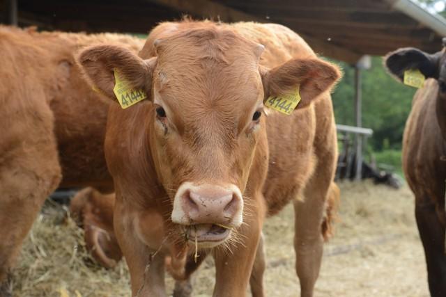 Według rolników cena kilograma żywca wołowego spadła nawet o 2 zł