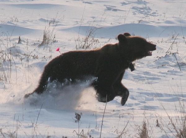 W styczniu niedźwiedzica pojawiła się w Przemyślu i Chorzowie pod Pruchnikiem.