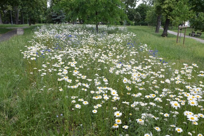 Łąka kwietna w Parku św. Trójcy w Zielonej Górze - czerwiec...