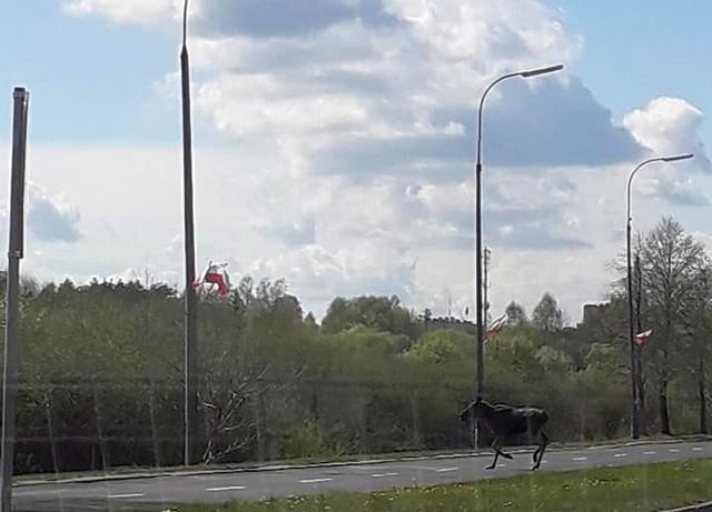 Białystok, aleja Jana Pawła II. Pięć łosi przechodziło przez aleję