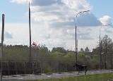 Łosie w Białymstoku na alei Jana Pawła II. Niedawno były na Waszyngtona, jeden kąpał się w stawie przy Pałacu Branickich (zdjęcia, wideo)