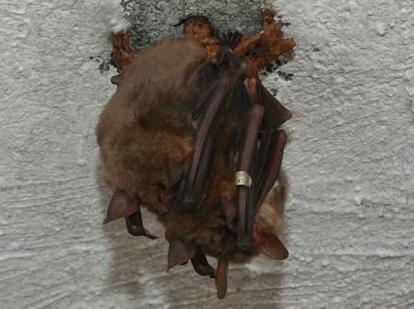 Przed rokiem przyrodnicy doliczyli się w MRU ponad 27 tys.  zimujących nietoperzy.