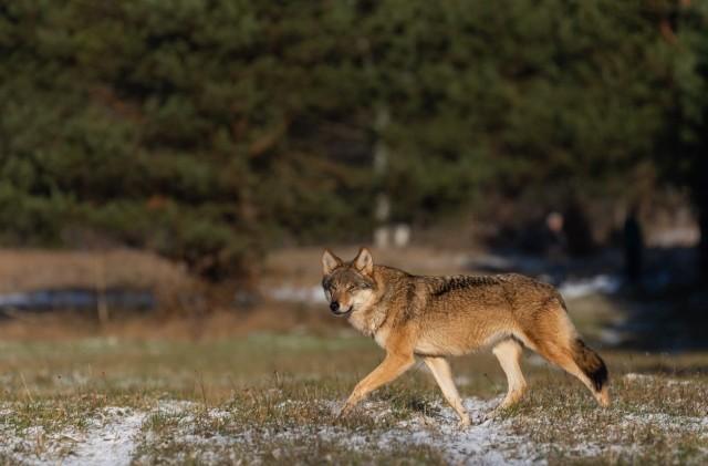 Od kilku miesięcy mieszkańcy Białowieży widują na posesjach, w parku lub na ulicach wilki.