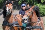 Nad Wisłą w Grudziądzu będą zawody w powożeniu końmi zimnokrwistymi. Będą też pokazy dla publiczności