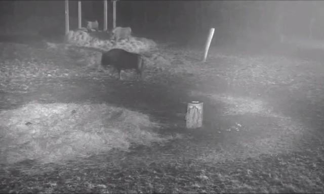 Hit Internetu: Walka żubrów z wilkami okiem kamery ŻUBRY ONLINE