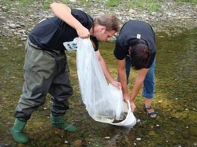 Wypuszczanie narybku łososia do Krzyworzeki, dopływu Raby Fot. Piotr Subik