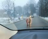 Łódzkie: Świnia uciekinierka biegała po jezdni między samochodami. Kierowcy musieli mieć się na baczności