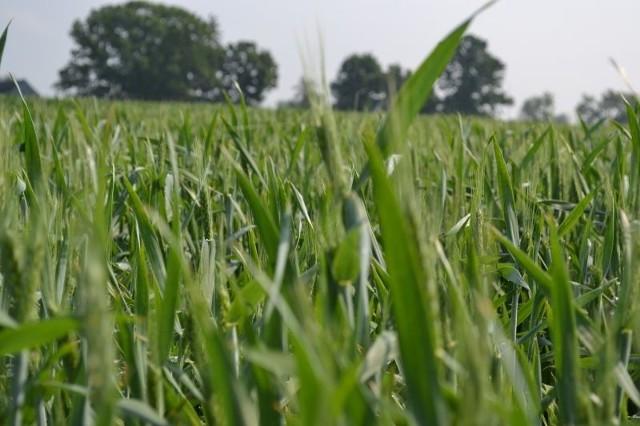 W większości wnioskodawcy deklarowali zakup materiału siewnego zbóż