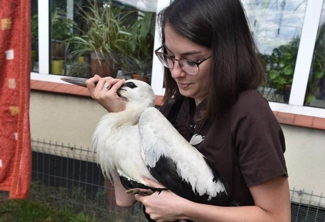 Bocian po leczeniu w Lesznie trafi do ośrodka rehabilitacji dzikich ptaków, a później zostanie wypuszczony na wolność.