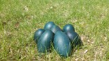 Kolorowe jaja od kazuara, duże od sępa i nandu