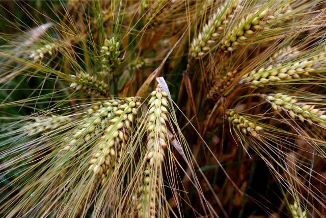 Rolnicy wybierając odmianę, powinni zwracać uwagę nie tylko na plony