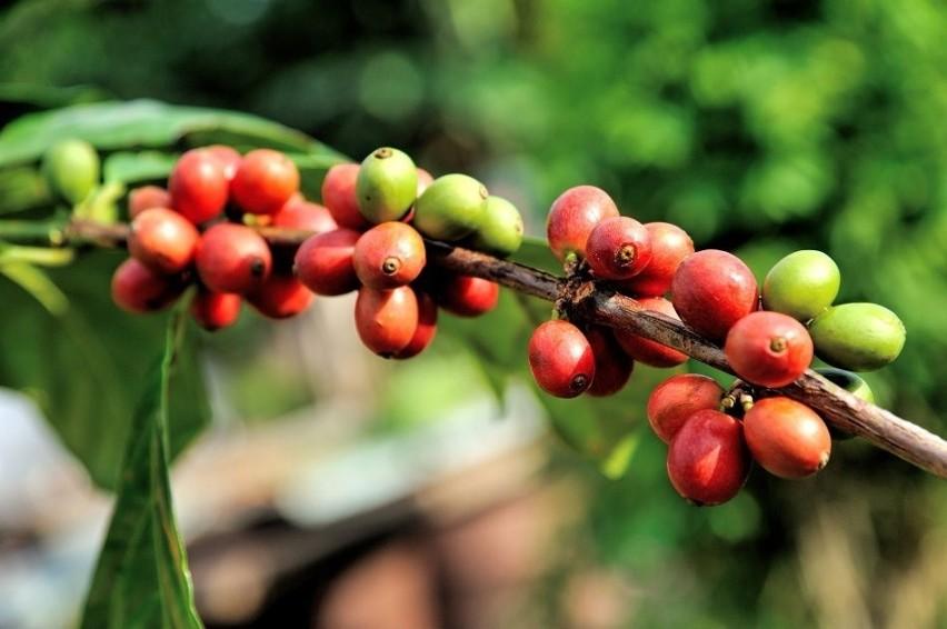 Owoce kawowca zawierają po dwa spłaszczone ziarna. To...