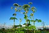 Barszcz Sosnowskiego – oparzenia i objawy zatrucia furanokumarynami. Skutki i leczenie poparzenia. Jak rozpoznać tę niebezpieczną roślinę?