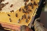 Miód to chleb dla pszczół. A pszczelarz jest złodziejem