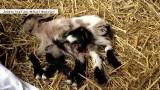 W Chorwacji urodziła się koza z ośmioma nogami