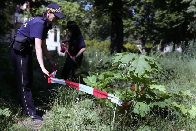 Barszcz Sosnowskiego stanowi zagrożenie dla zdrowia i życia ludzi