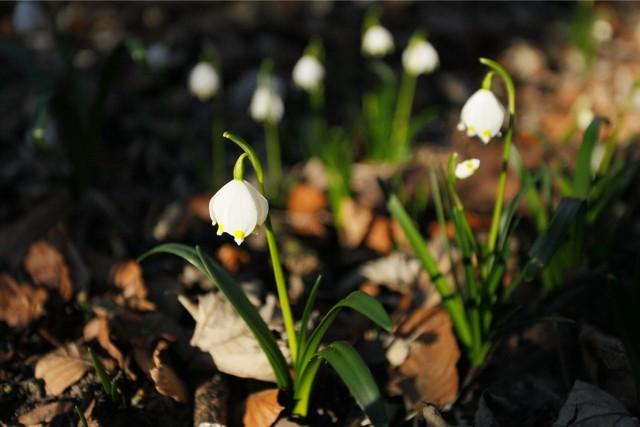 W rezerwacie Śnieżycowy Jar zrobiło się już biało