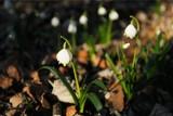 Śnieżycowy Jar 2019: Kwiaty już kwitną. Kiedy będzie można odwiedzić rezerwat?