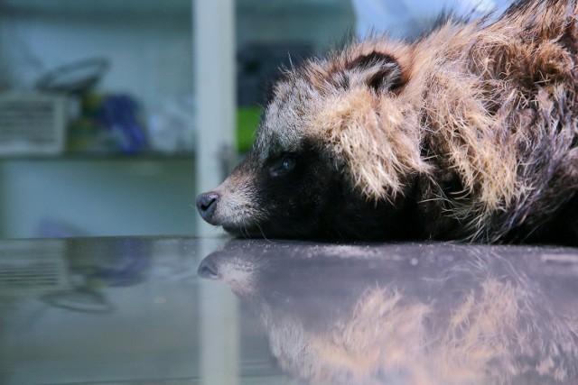 Młoda, dzika samica jenota trafiła do kliniki weterynaryjnej Zbigniewa Skrzeka w Piotrkowie po tym, jak w Kruszowie niebezpiecznie zbliżyła się do domostw w poszukiwaniu pożywienia.