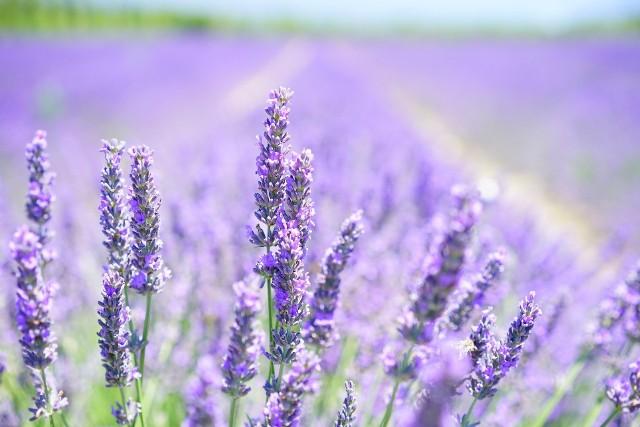 Lawenda - francuska, wąskolistna. Uprawa, kwitnienie, pielęgnacja, przycinanie, zastosowanie