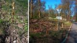 Nowe drzewa w Szczecinie. Przybywa nasadzeń w mieście, będzie pierwsza aleja kasztanowa i orzechowy sad