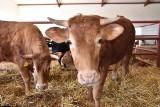 Rynek mięsa. Producenci wieprzowiny, wołowiny i drobiu mówią o zapaści w branży. Gospodarze i organizacje rolnicze apelują o pomoc