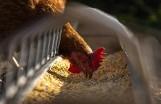 Ognisko ptasiej grypy w Wieszowej. Zutylizowano 55 tys. sztuk drobiu