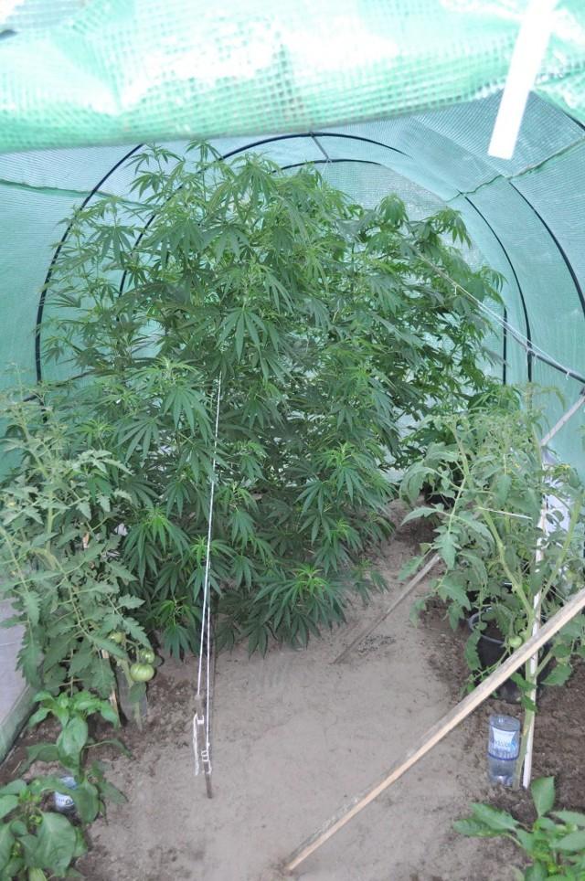 28-latka uprawiała marihuanę razem z pomidorami i paprykami. Policjanci zabezpieczyli sześć okazałych krzewów oraz ponad 400 gramów suszu. Za posiadanie znacznej ilości narkotyków kobiecie grozi kara do 10 lat pozbawienia wolności.Policjanci z międzyrzeckiej jednostki uzyskali informację, że mieszkanka jednej z wsi gminy Międzyrzecz uprawia marihuanę. Po zebraniu materiałów i ustaleniu faktów przystąpili do działania.W piątek (15 lipca) podczas przeszukania jej mieszkania, policjanci zabezpieczyli ponad 400 gramów suszu. Jednak po dokładnym sprawdzeniu jej posesji, okazało się, że to nie wszystko. Policjanci, chodząc po terenie posesji 28-letniej kobiety, zauważyli na ogrodzie, w szklarni wysokie krzewy. Okazało się, że kobieta razem z pomidorami i paprykami w przydomowym ogródku uprawiała marihuanę. Krzewy zostały zabezpieczone w policyjnym depozycie. Natomiast Ewa Z. została zatrzymana. Odpowie za posiadanie znacznej ilości środków odurzających oraz za uprawę marihuany, za co może grozić jej kara nawet do 10 lat pozbawienia wolności.
