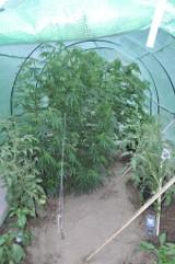 Marihuana w ogródku razem z pomidorami i paprykami [ZDJĘCIA]