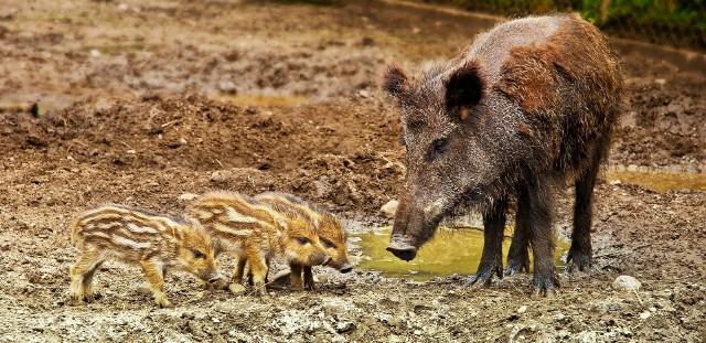 Ważą się losy udomowionych dzików z Sępólna Krajeńskiego, który mogłyby trafić do zoo w Myślęcinku. Lekarz weterynarii Wojciech Młynarek, zastępca Kujawsko - Pomorskiego Wojewódzkiego Lekarza Weterynarii, z którym udało nam się porozmawiać, prosi o cierpliwość, bo trwa procedura odwoławcza. Podkreśla, że ryzyko wystąpienia ASF w naszym regionie jest bardzo realne, zwłaszcza, że przypadki wirusa odkryto w ościennych województwach.Zdjęcie ilustracyjne.