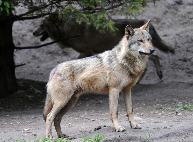 3500 metrów od centrum handlowego M1 w Poznaniu myśliwi natrafili na watahę pięciu wilków./ zdjęcie ilustracyjne
