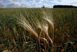 Trwa szacowanie strat spowodowanych przez suszę