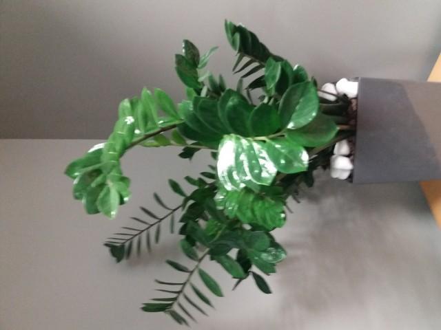 Zamiokulkas dobrze wygląda w nowoczesnych wnętrzach. Lubią go głównie ludzie młodzi, bo jest rośliną nie wymagającą specjalnej pielęgnacji.