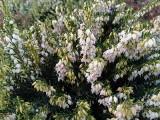 Przyroda zrobiła psikusa. Wiosenne kwiaty zakwitły w Ogrodzie Botanicznym w Kielcach. Zobaczcie zdjęcia i film