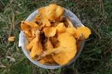 Pogoda zupełnie oszalała! Grzyby w styczniu w małopolskich lasach. Czytelnicy wysyłają zdjęcia kurek! Gdzie są grzyby? 2.02.20